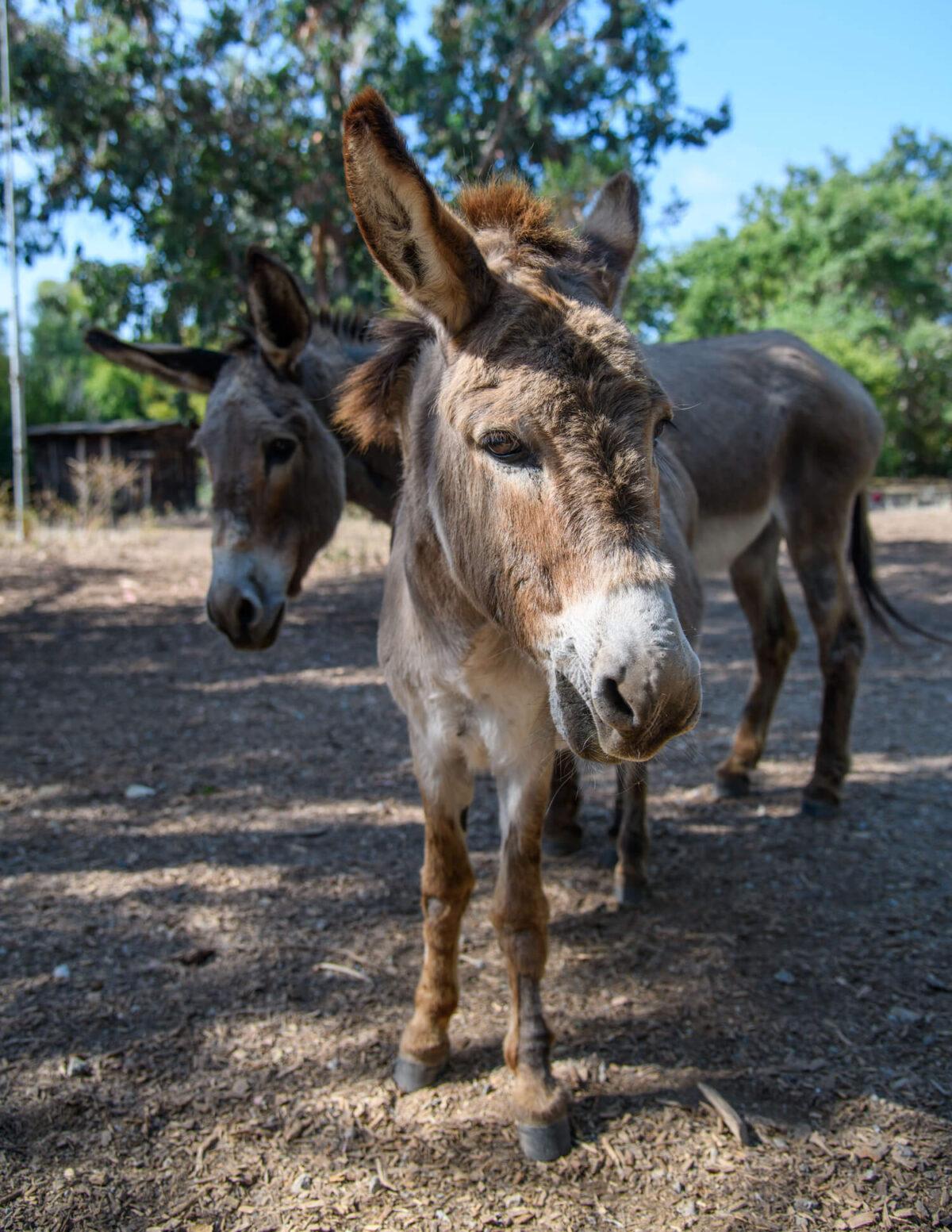 Barron Park Donkeys