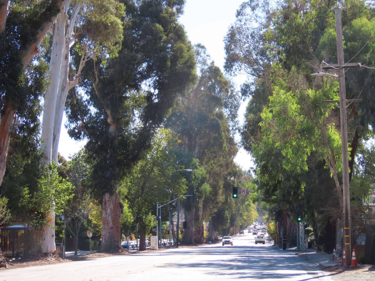 Burlingame Eucalyptus Tree Rows