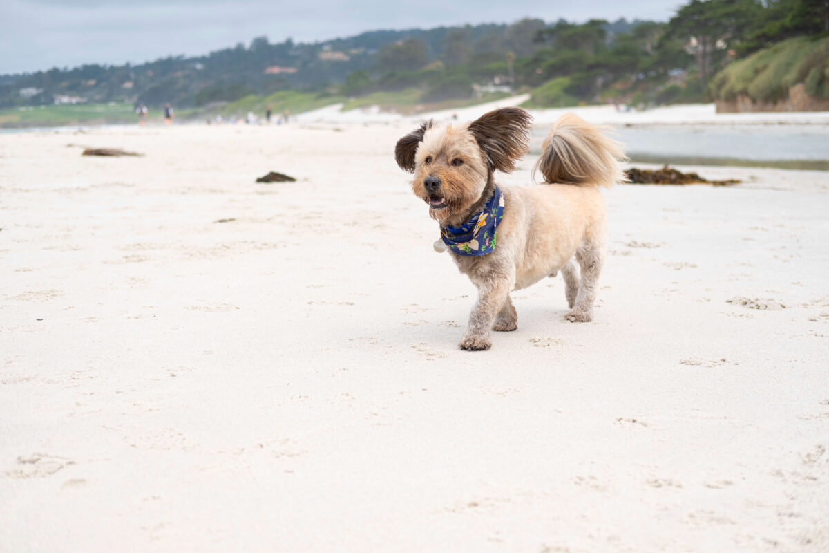 Dog Days in Carmel
